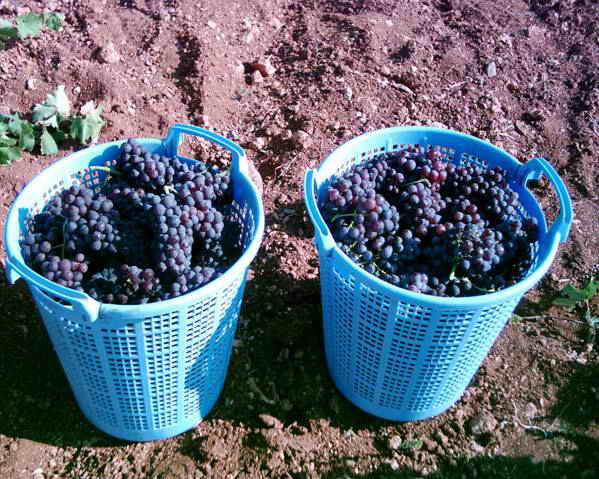 turkish local grapes varieties Some local turkish table grape varieties cultivated in egirdir/isparta local varieties according to research results [2-4] local grape cultivars for the given biochemical traits to use them in breeding activities.